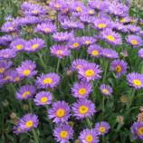 Ваш сад с многолетниками подушковидной формы